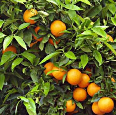 Arbol con frutos